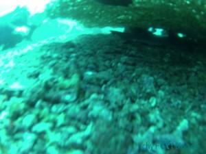 Riffhai unter Korallenteller